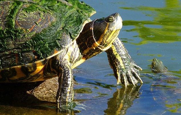 Rüyada su kaplumbağası görmek nasıl yorumlanır